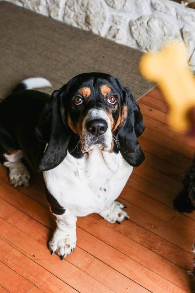 our black, white and tan basset hound Mario with a gluten free homemade dog biscuit