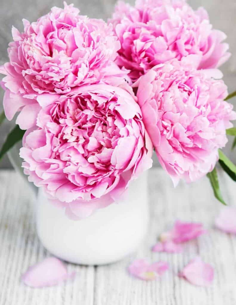some of my favorite things are peony blooms