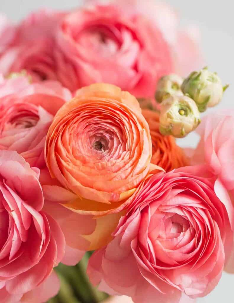 a bright pink and orange bouquet of ranunculus flowers
