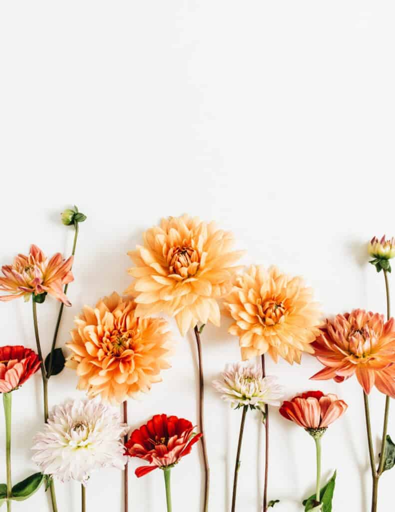some of my favorite things are dahlias. These lovely orange hued dahlias on a white background are perfect for late summer.